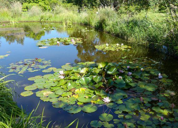 lotus nénuphars