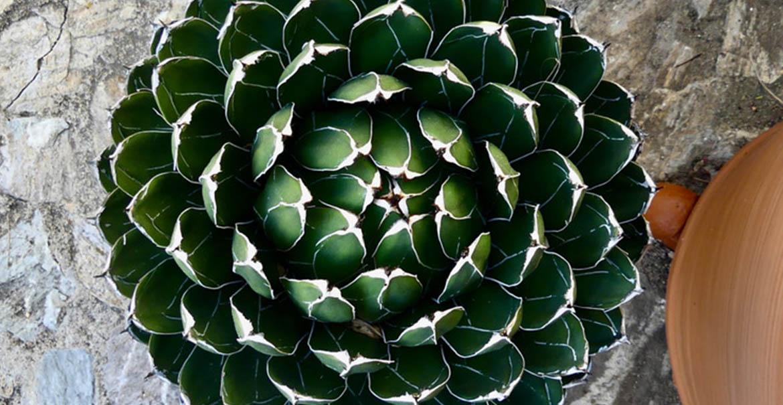 marimurtra jardin botanique blanes espagne aloe queen regina