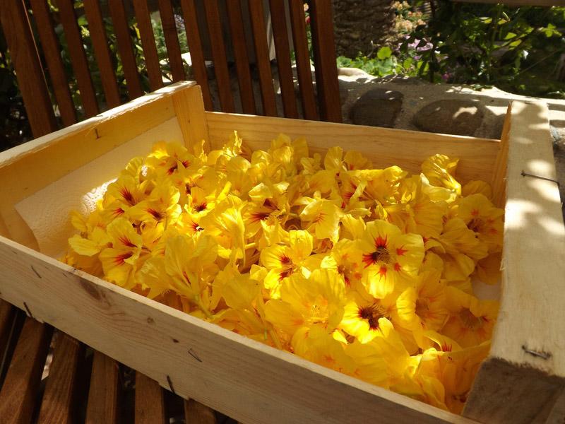 capucine fleurs cuisiner