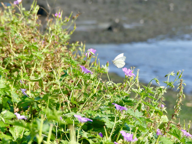 ecosse edimbourg queens ferry inchcolm island flowers butterfly