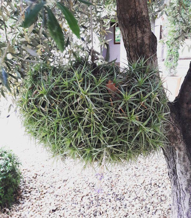 tillandsia plante diy