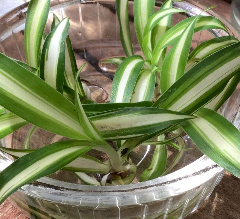 bouture-plantes-chlorophytum