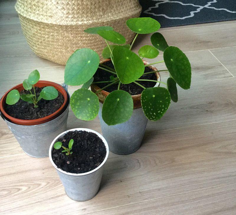 bouture plante pilea