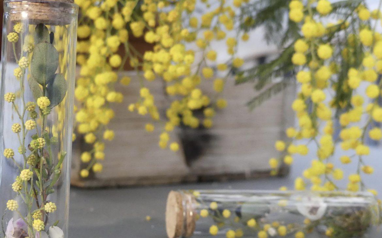mimosa séché