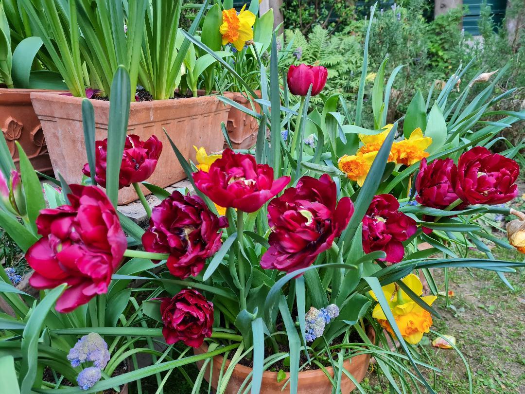 tulipe antraciet