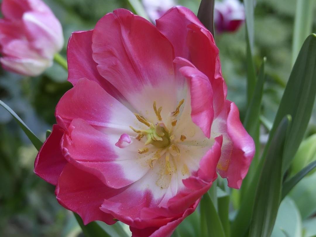 tulipe upstar